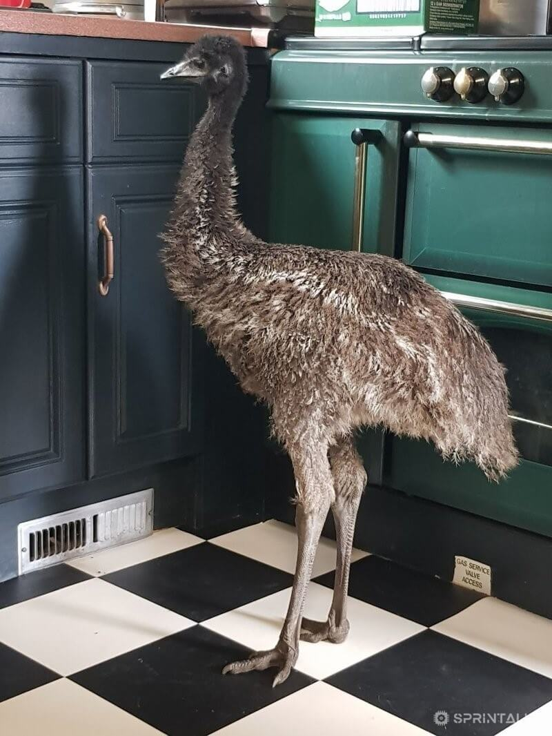 emu in home