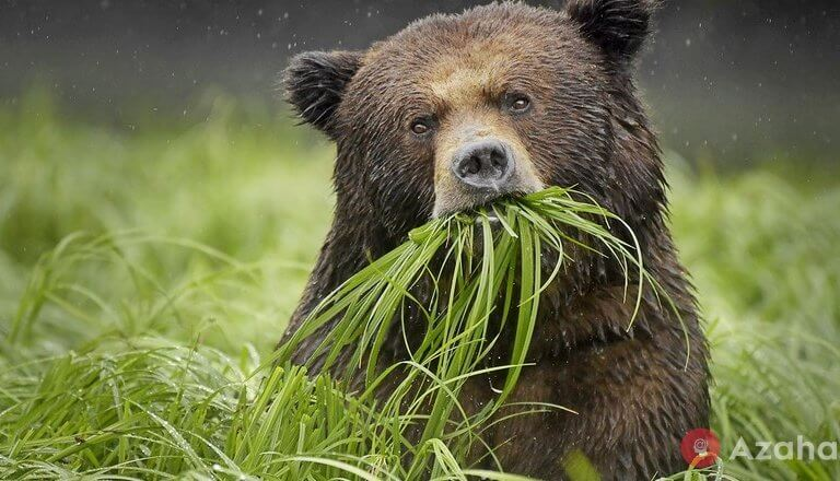 Eating grass, looking for ants and pick berries: that actually eat brown bears