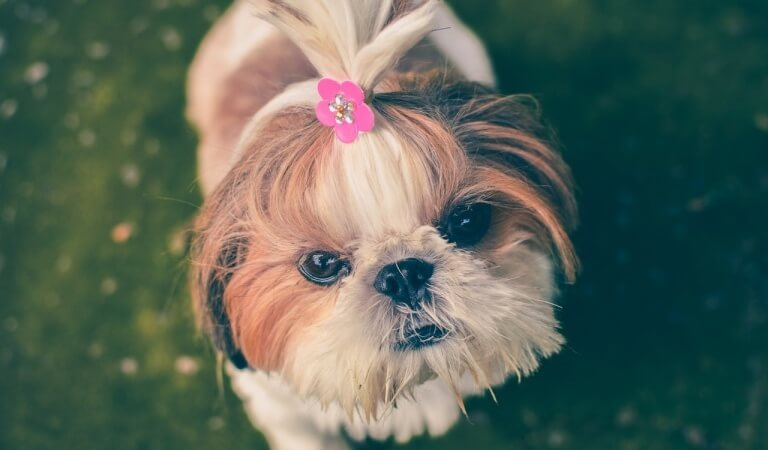 The top 10 smallest breeds of dogs