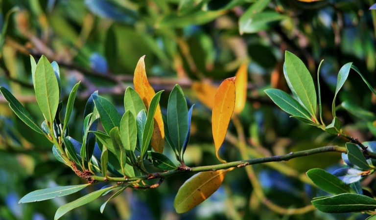 We reveal the secrets of how to use Bay leaf for hair