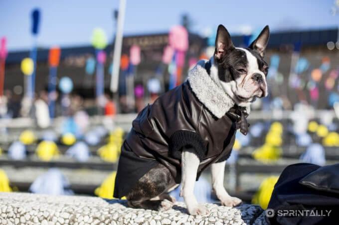 Boston Terrier Ego At Pitti Uomo