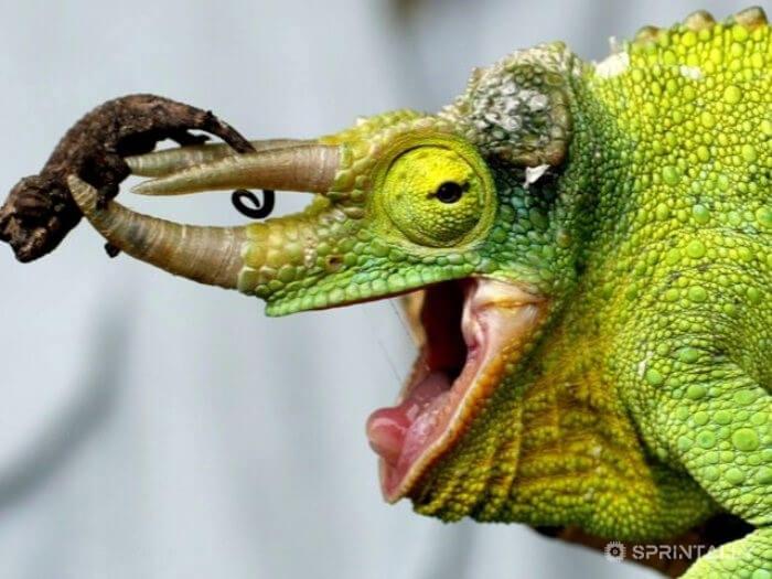 Chameleons Change Color For Camouflage