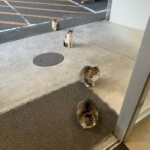 In Japan, Cats Also Maintaining Distance