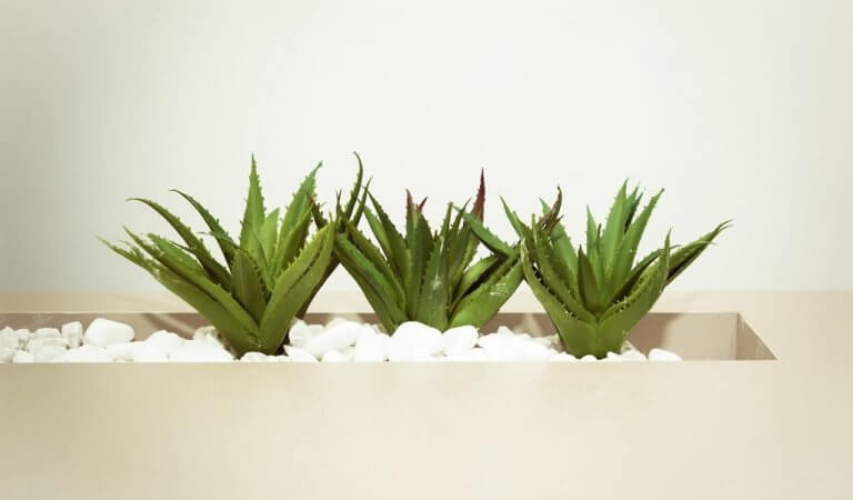 Aloe vera: how to grow a miracle plant