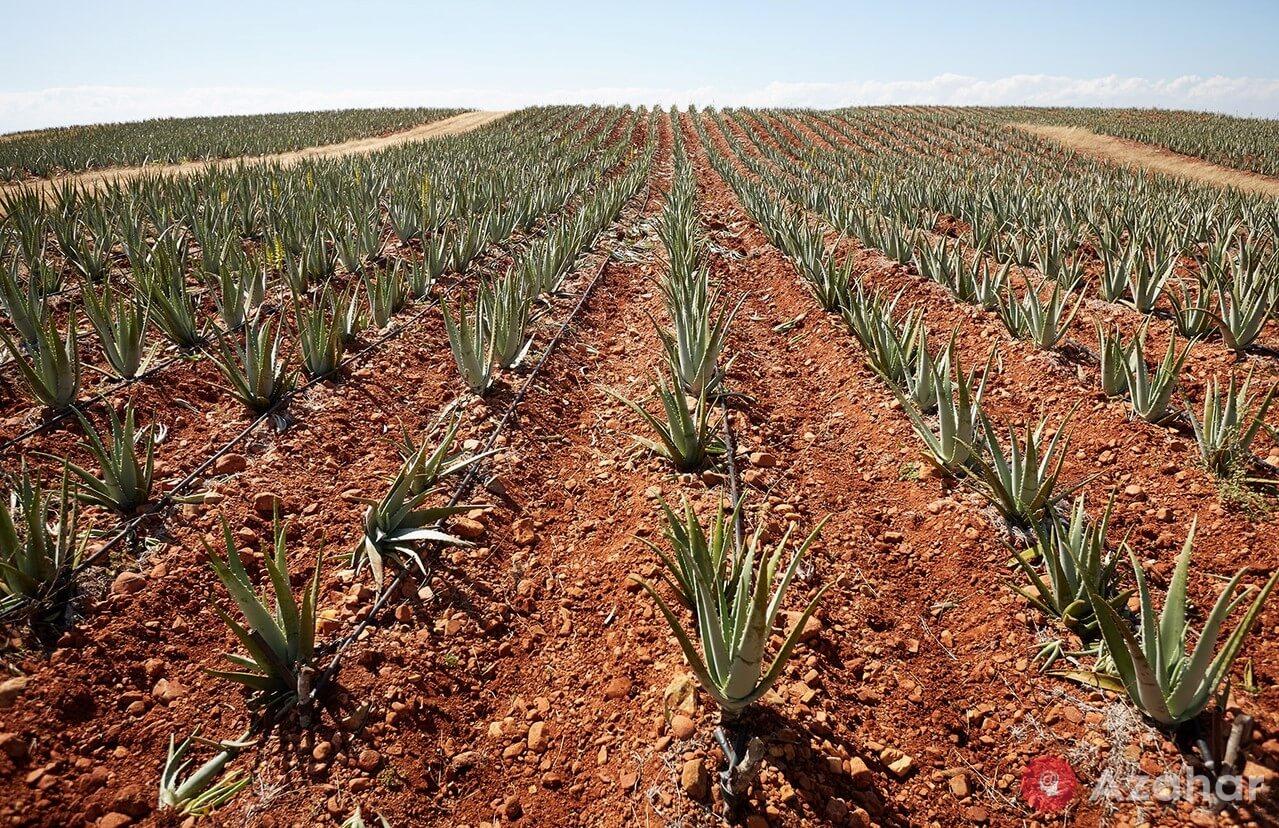 Aloe Vera Planting