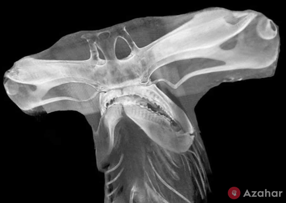 X-ray of the head of a hammerhead shark
