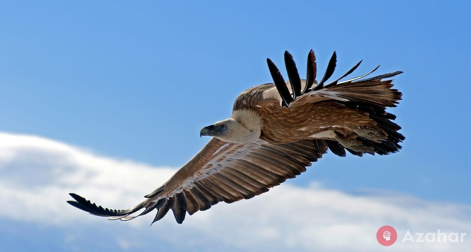 African vulture, Africa