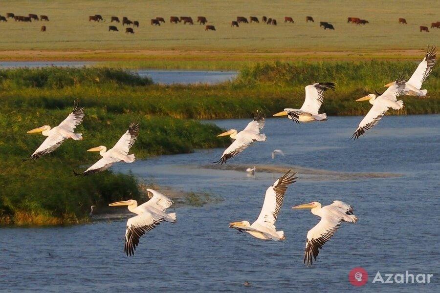 Pelicans on the lake Manych-Gudilo