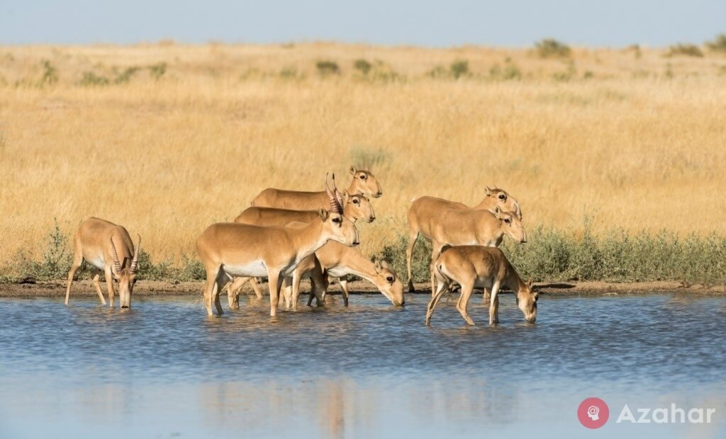 Saigas in the Black Lands Reserve