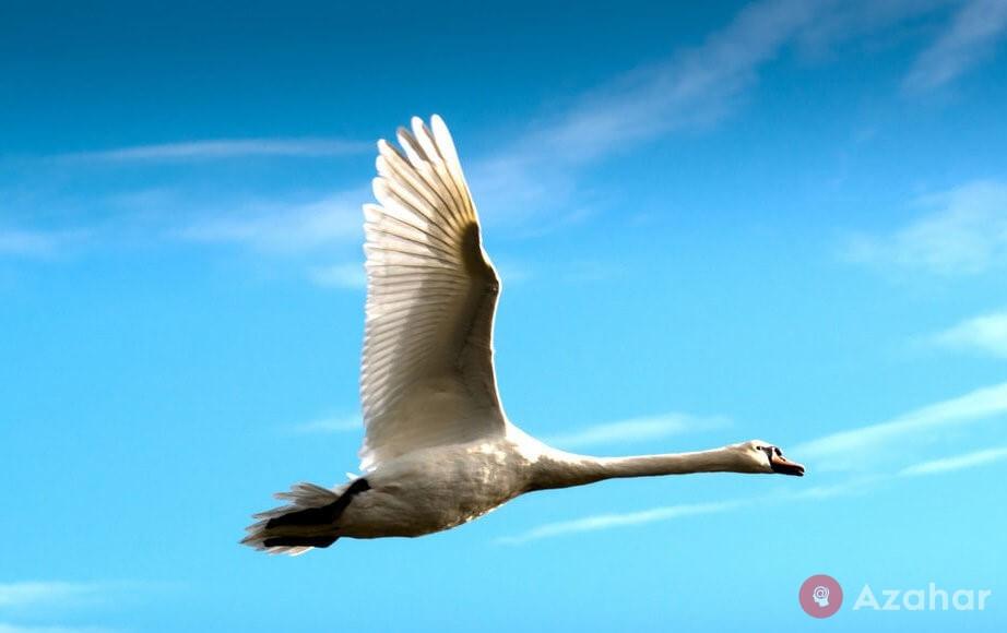 The Whooper Swan, Of Eurasia