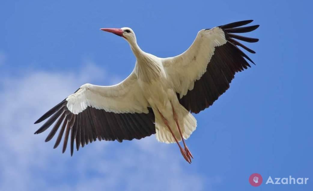 White Stork, Eurasia, Africa