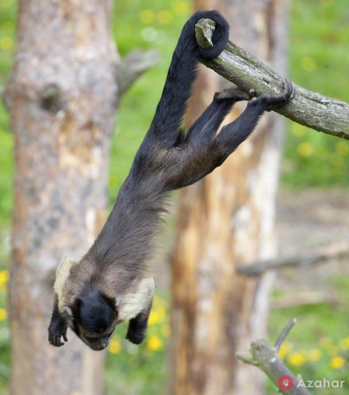 Chain-Tailed Monkey