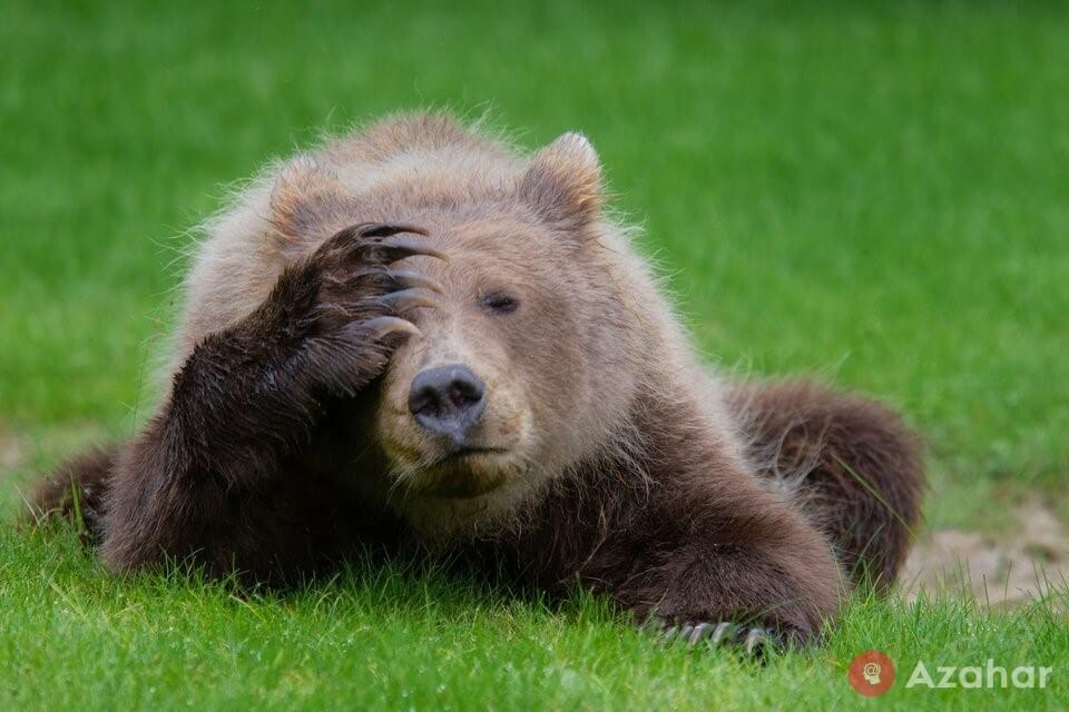 Brown Bear With A Headache