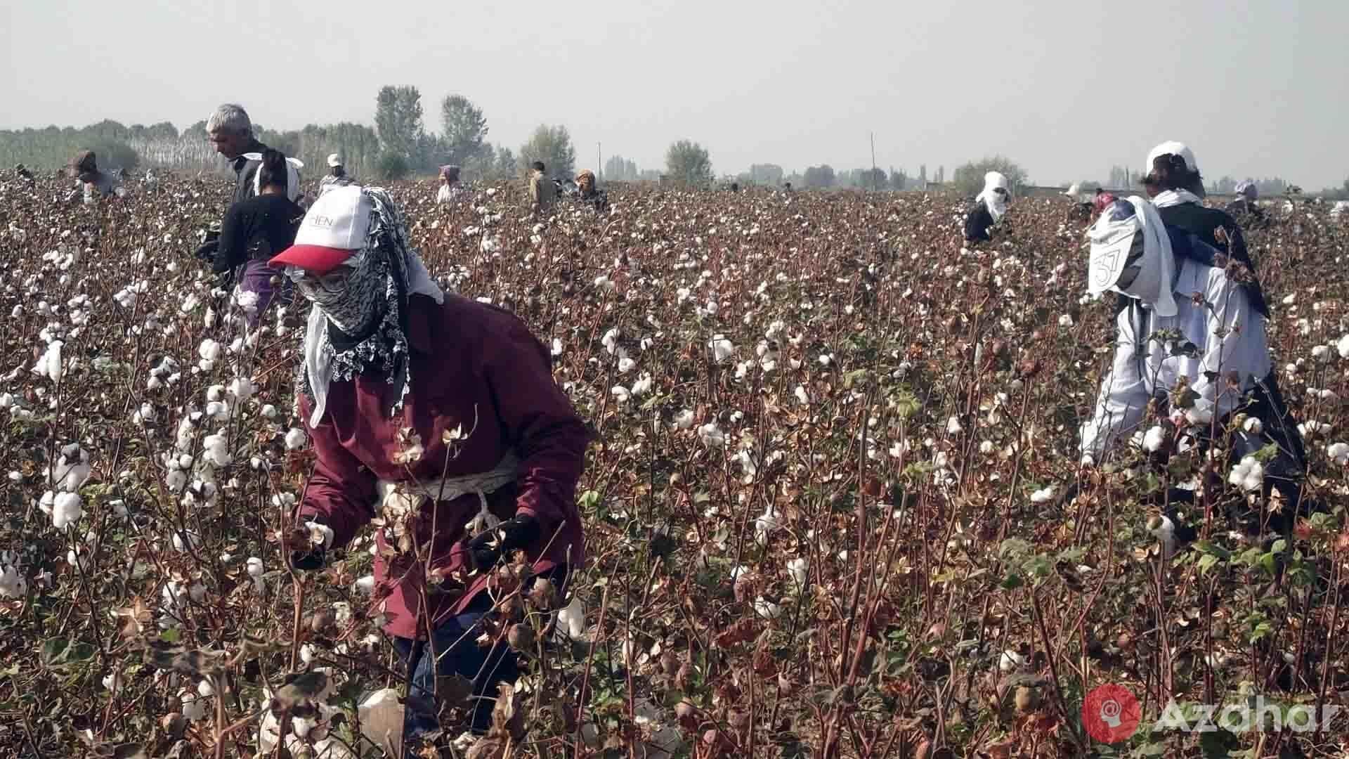Cotton Is Very Profitable