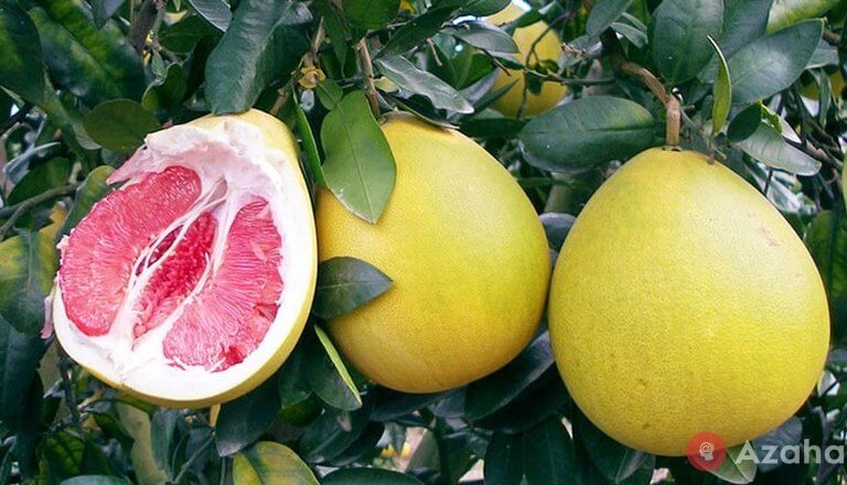 Pomelo Fruit: how many months the world's largest citrus ripens