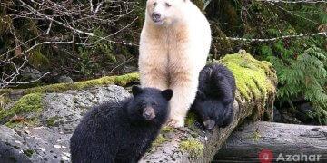 Kermode ghost bear