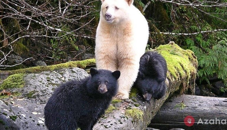 The mystery of the Kermode ghost bear