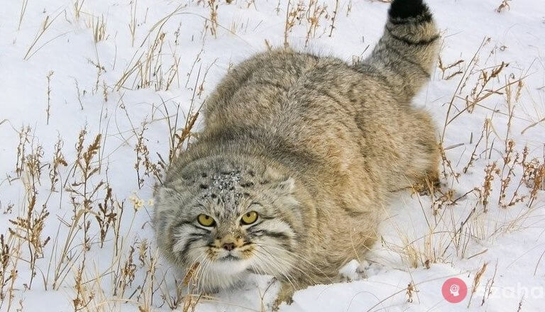 Pallas's – wild cat, with the thick and warm fur in the world