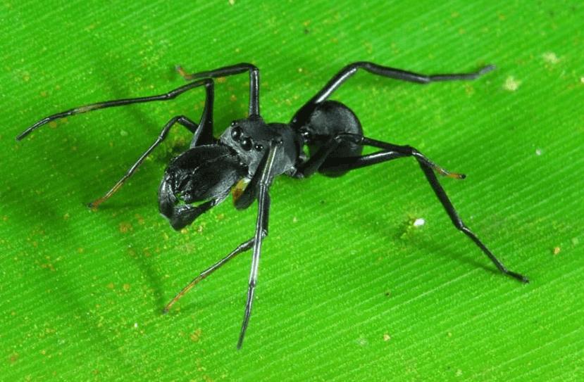 Ant Spider Horse