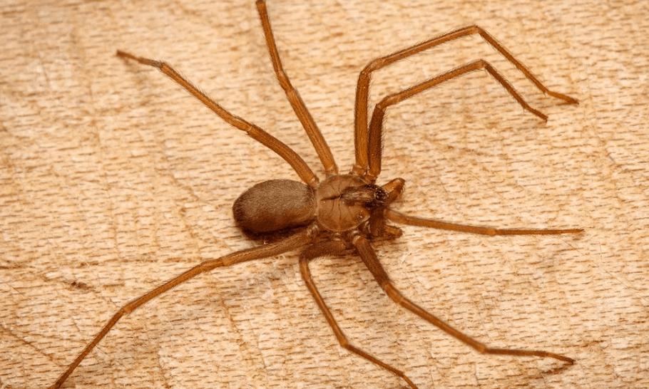Brown Hermit Spider