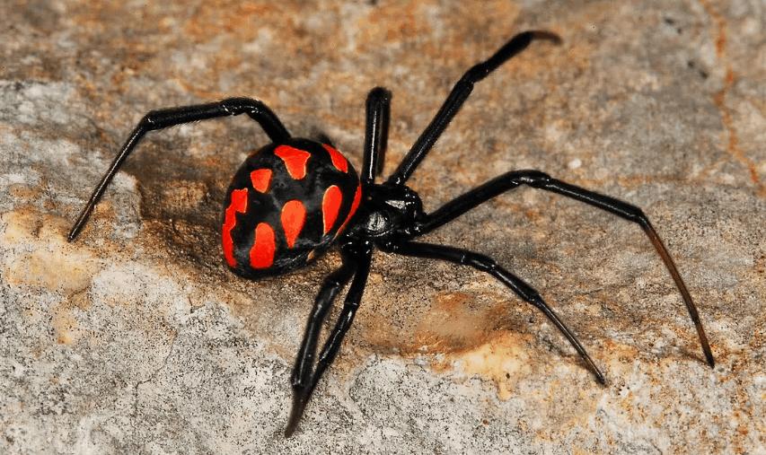 Latrodectus Tredecimguttatus