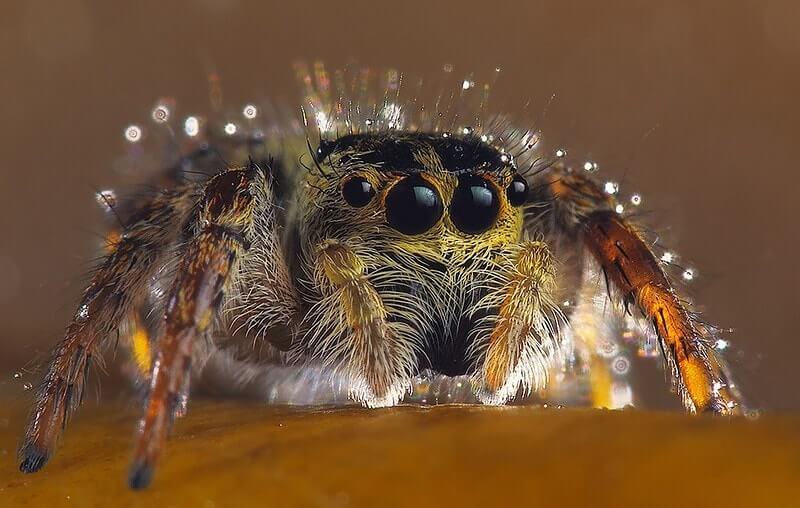Himalayan Spider