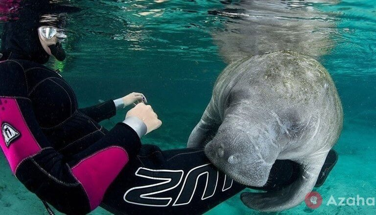 Manatees something so much attracted the girl-diver that they came to be friends