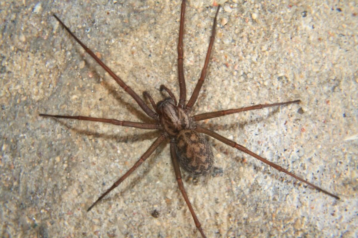Tegenaria Domestica (House Spider)