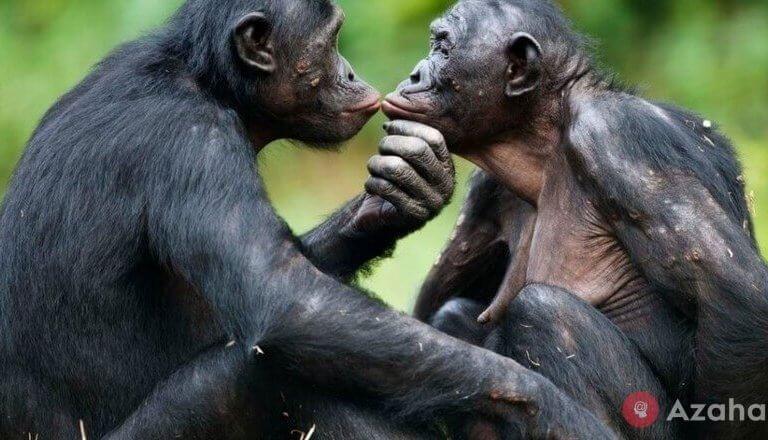 How do females bonobos arrange the privacy of their sons