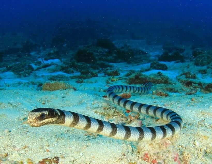 Belchers Sea Snake