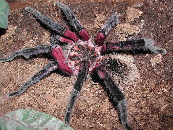 Colombian Lesserblack Tarantula