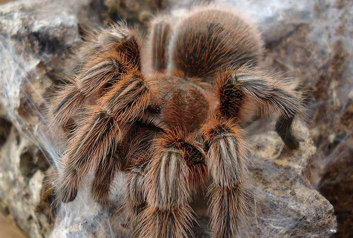 Giant Baboon Spider