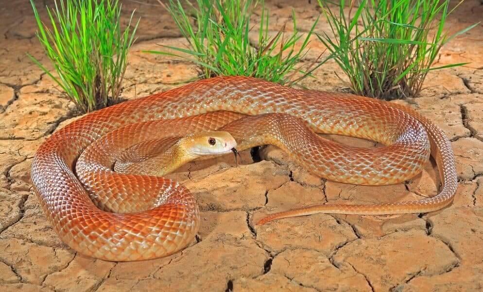Taipan Or Ferocious Snake