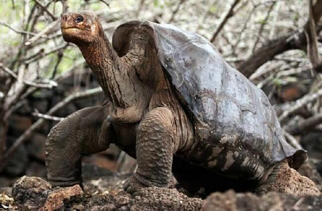 Abingdon Elephant Turtle