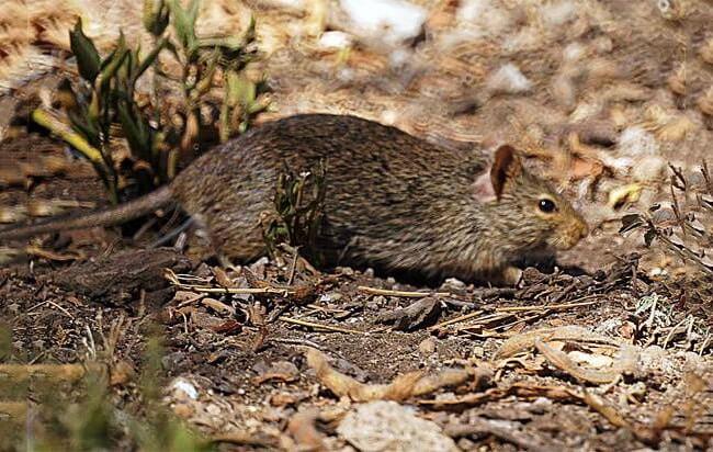 Cane Rat
