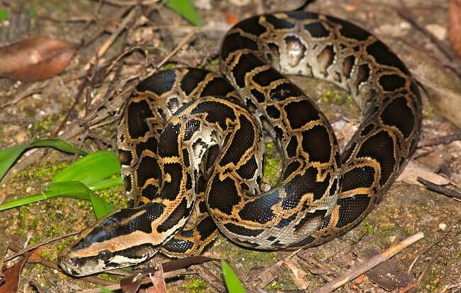 Dark Tiger Burmese Python