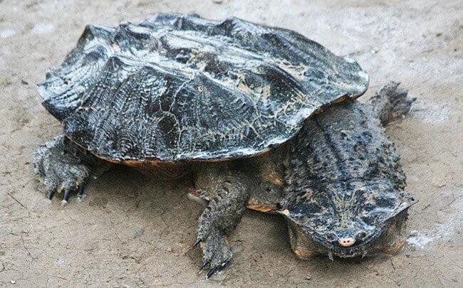 Fringed Turtle