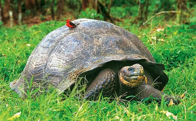 Galapagos Elephant Turtle