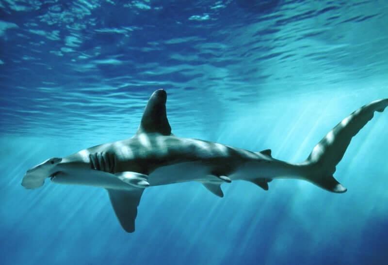 Giant Hammerhead Shark