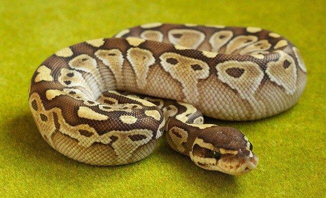 Indian Or Light Tiger Python