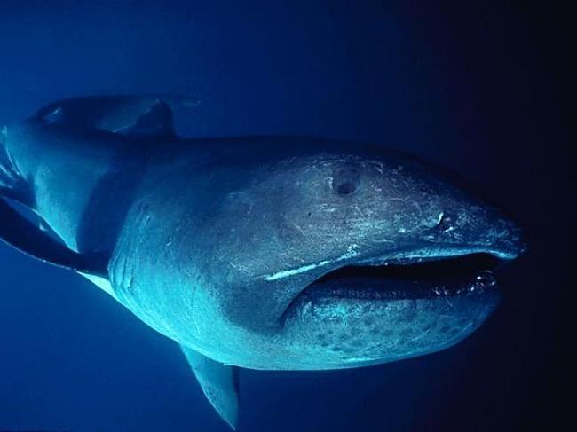 Pelagic Largemouth Shark
