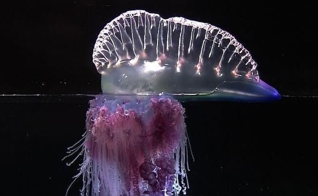 Portuguese Boat Jellyfish