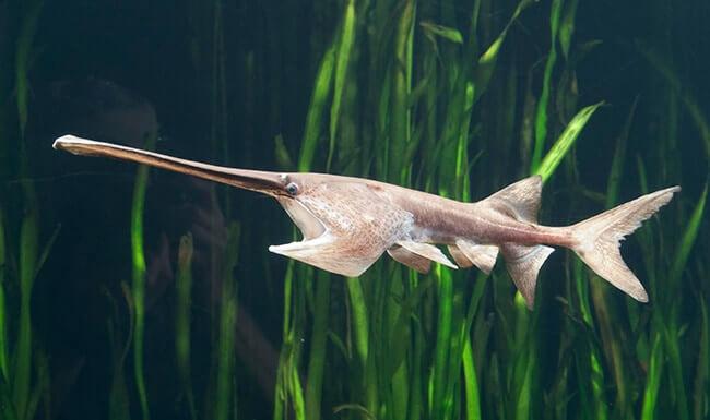 Psephurus Gladius Or Chinese Paddlefish