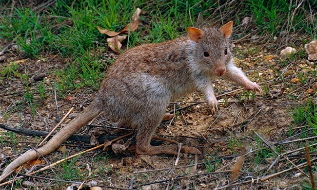 Rufous Rat Kangaroo