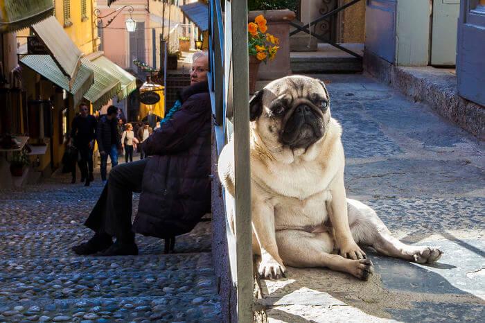 Sitting Giant Dog