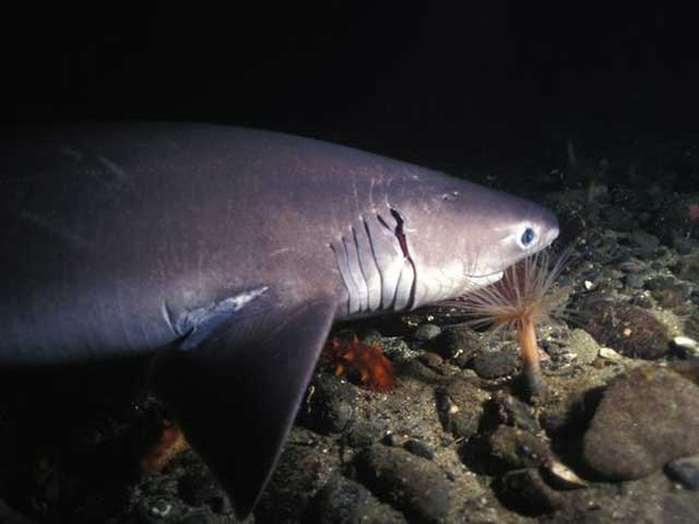 Sixgill Shark