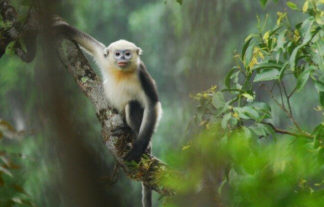 Tonkin Snub Nosed Monkey
