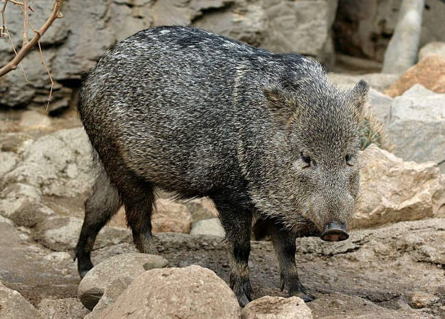 Visayan Warty Pig