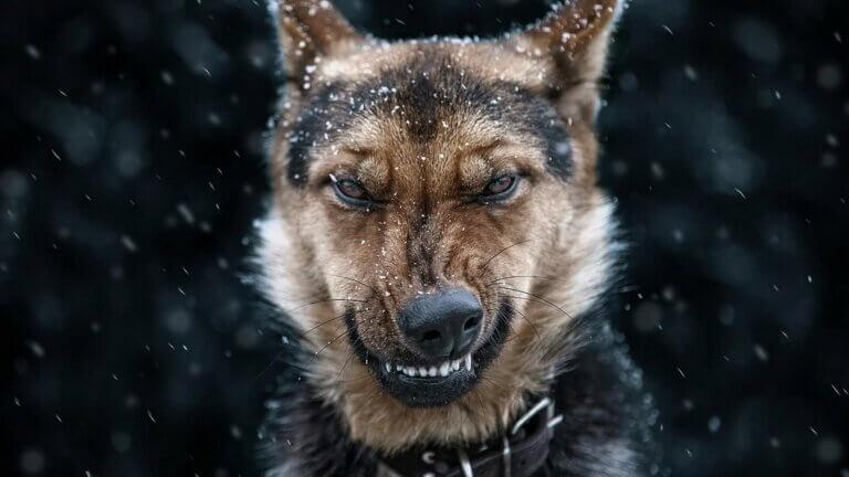 Angriest Dog