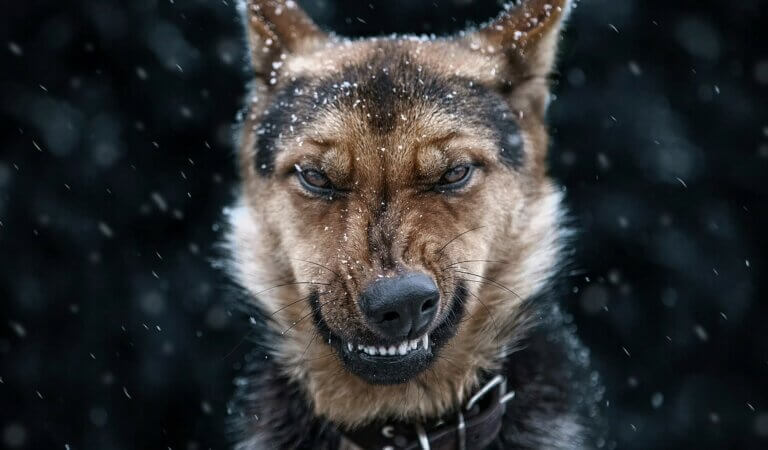 Top 10 angriest dogs in the world
